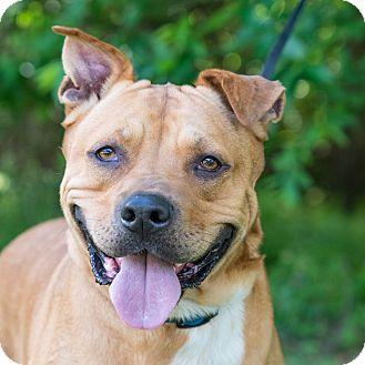 Labrador Retriever/Shar Pei Mix Dog for adoption in Houston, Texas - TJ