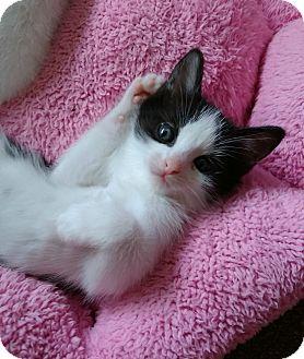 Domestic Shorthair Kitten for adoption in Austintown, Ohio - Eddy
