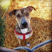 Adopt A Pet :: Shy - justin, TX