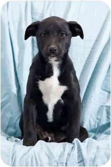 Labrador Retriever Mix Puppy for adoption in Portland, Oregon - Newton