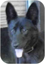 Shepherd (Unknown Type)/Schipperke Mix Dog for adoption in Chicago, Illinois - Gemini