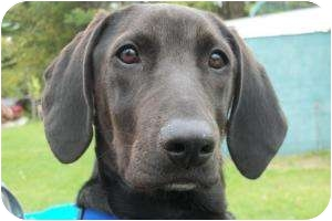 Labrador Retriever/Hound (Unknown Type) Mix Puppy for adoption in kennebunkport, Maine - Carson- Pending!