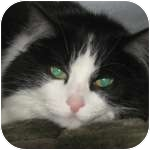 Domestic Longhair Cat for adoption in Wheaton, Illinois - Melanie