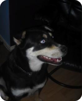 Husky/Rottweiler Mix Dog for adoption in Portage la Prairie, Manitoba - Isis
