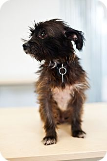 Terrier (Unknown Type, Small) Mix Dog for adoption in Houston, Texas - Fiona