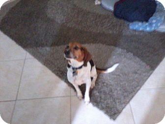 Beagle Mix Dog for adoption in Houston, Texas - Lexi - loving