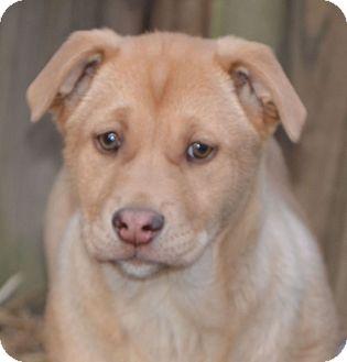 Rottweiler/Labrador Retriever Mix Puppy for adoption in Staunton, Virginia - Goldie