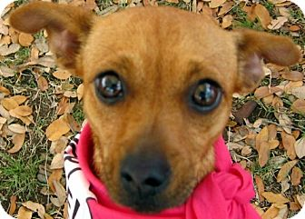 Chihuahua Mix Dog for adoption in Wimberley, Texas - Woofie