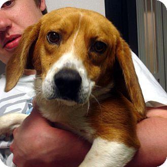 Beagle Dog for adoption in Manassas, Virginia - Jerry