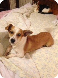 Chihuahua Mix Dog for adoption in Hazard, Kentucky - Whisky
