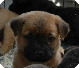 Shar Pei/Labrador Retriever Mix Puppy for adoption in Blackstone, Virginia - Titus