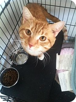 Domestic Shorthair Cat for adoption in Huntington Station, New York - FRANKLIN