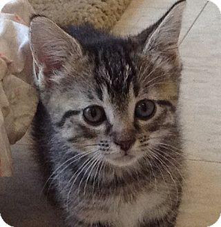 Domestic Shorthair Kitten for adoption in Columbia, South Carolina - Hawkeye