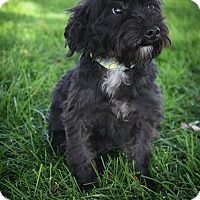 Adopt A Pet :: Pepsi - Broomfield, CO