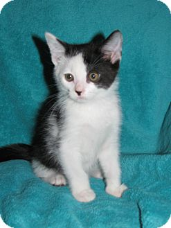 Domestic Shorthair Kitten for adoption in Nashville, Tennessee - Groot
