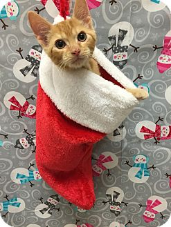 Domestic Shorthair Kitten for adoption in Coral Springs, Florida - Creamsicle