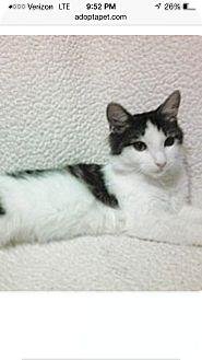 Domestic Shorthair Cat for adoption in East McKeesport, Pennsylvania - Mindy