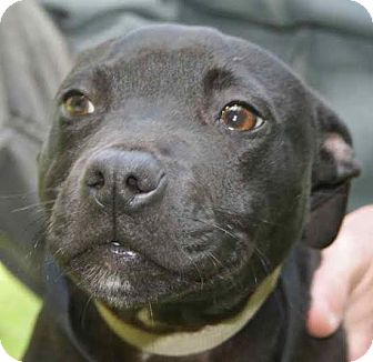 Bulldog Mix Puppy for adoption in Blountstown, Florida - Koby