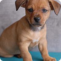 Adopt A Pet :: Harley - Milan, NY