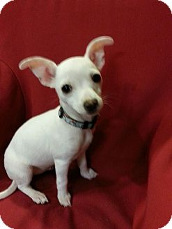 Chihuahua Mix Puppy for adoption in Antioch, California - Marshmallow