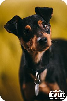 Miniature Pinscher Dog for adoption in Portland, Oregon - Mickey