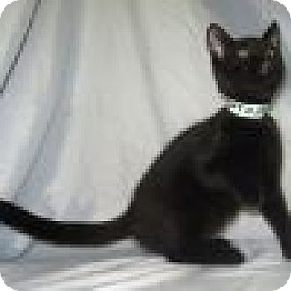 Domestic Shorthair Cat for adoption in Powell, Ohio - Panther