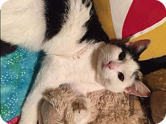 Domestic Shorthair Cat for adoption in Little Falls, New Jersey - Potter (LE)