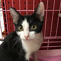 Domestic Shorthair Cat for adoption in Napa, California - Itty