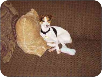 Rat Terrier Dog for adoption in Powell, Ohio - Lucy