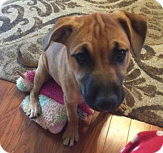 German Shepherd Dog/Rhodesian Ridgeback Mix Puppy for adoption in PARSIPPANY, New Jersey - APHRODITE