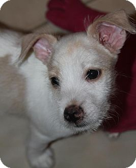 Terrier (Unknown Type, Medium) Mix Puppy for adoption in Wayne, New Jersey - Cace