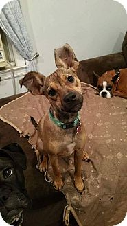 Jack Russell Terrier Mix Dog for adoption in East Rockaway, New York - Flora