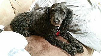 Poodle (Miniature) Mix Dog for adoption in Monroe, North Carolina - Baby Girl
