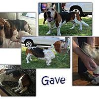 Adopt A Pet :: Gave - Marietta, GA