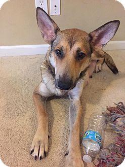 German Shepherd Dog Mix Dog for adoption in Portland, Maine - Ireland (Cat Friendly)