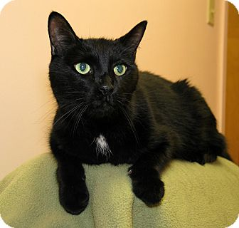 Domestic Shorthair Cat for adoption in Milford, Massachusetts - Shadow