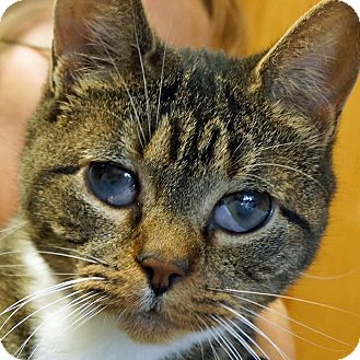 Domestic Shorthair Cat for adoption in Sprakers, New York - Binky