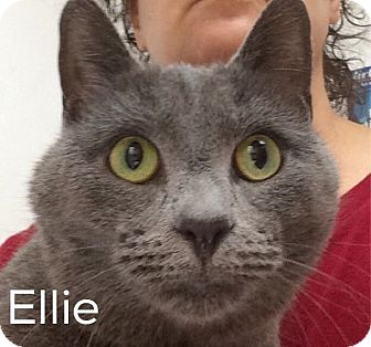 Russian Blue Cat for adoption in Great Neck, New York - Ellie