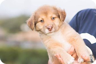 Husky Mix Puppy for adoption in Fort Atkinson, Wisconsin - Simba