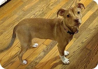 Collie/Terrier (Unknown Type, Medium) Mix Puppy for adoption in Hagerstown, Maryland - Tilly is in Mass!!!!