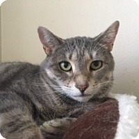 Domestic Shorthair Cat for adoption in McHenry, Illinois - Addie
