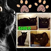 Adopt A Pet :: Shilo (PSP) - Livonia, MI
