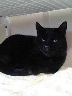 Domestic Shorthair Cat for adoption in Fremont, Ohio - Mosley