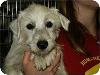 Westie, West Highland White Terrier Puppy for adoption in Mason City, Iowa - Arnold