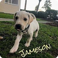 Labrador Retriever Mix Puppy for adoption in GREENLAWN, New York - Jameson