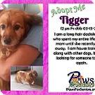 Adopt A Pet :: Tigger