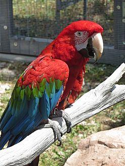 Macaw for adoption in Elizabeth, Colorado - Tewa