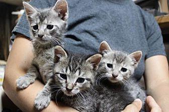 Domestic Mediumhair Kitten for adoption in Brooklyn, New York - Bumble, Bramble, Buzz, & Bo: Adorable Grey Kittens
