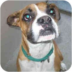 Boxer Dog for adoption in San Clemente, California - HARLEY