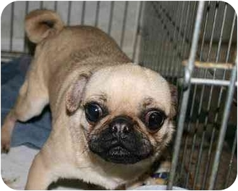 Pug Dog for adoption in House Springs, Missouri - Jax